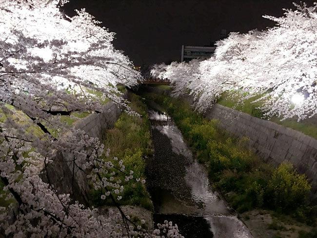 yamazakigawa-sakura1